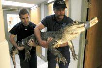 Aligator držan 15 godina u zatočeništvu