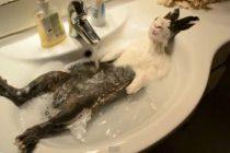 Šarmantno: Relaksacija zeca u lavabou (Video)