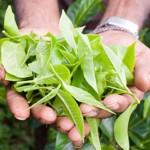zeleni-caj-listovi