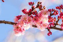 Cvetanje trešnje okuplja Japance