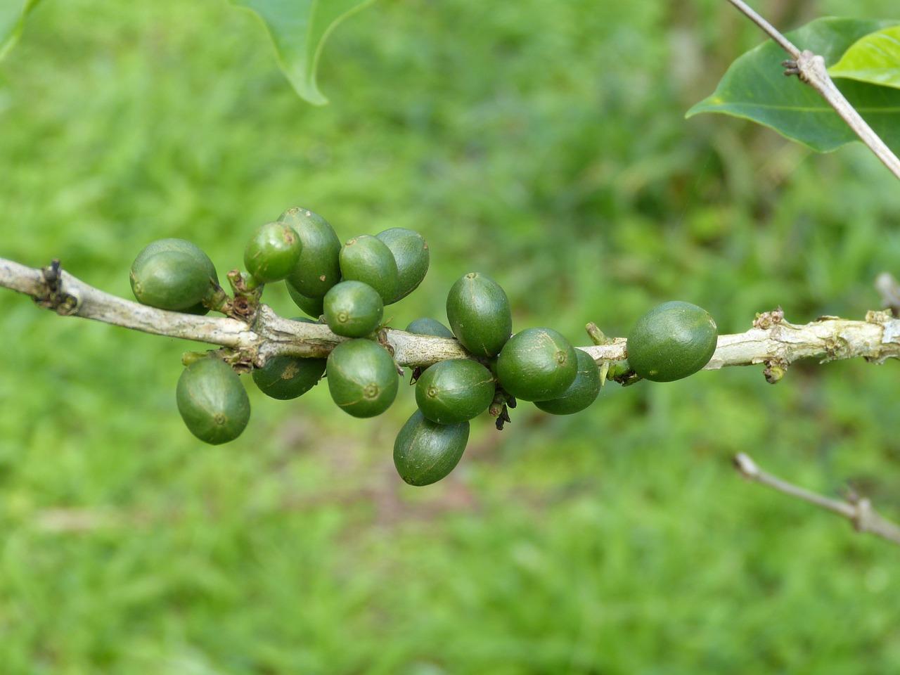 kafa-biljka