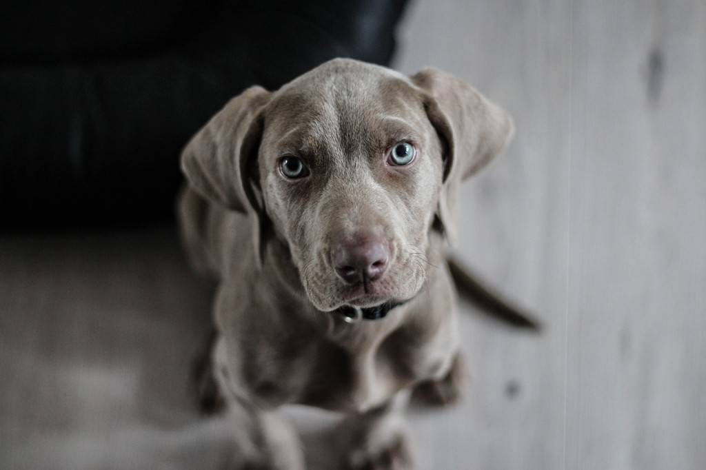 pas-ljubimac