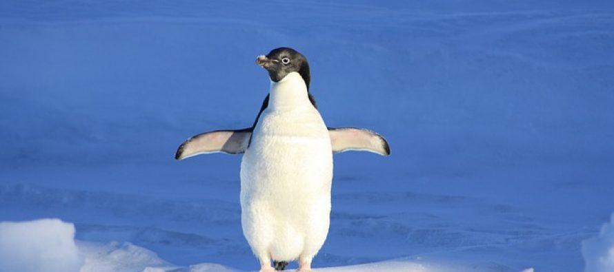 Pingvin, morska zvezda ili kit: Koja životinja će pobediti tokom zagrevanja Antarktika?