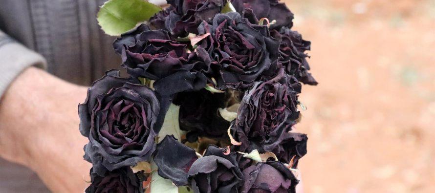 Halfeti – Jedino mesto gde rastu crne ruže